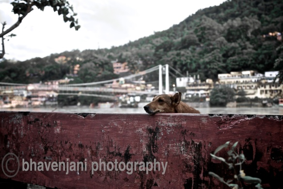 A dog rests its head on the wall as it silently watches people pass by on the road