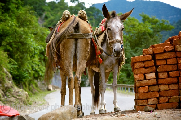 Two mules stand opposite to each other on the side of a road ahead of Rishik