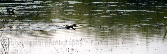 A black duck wades through the water in Bharatpur bird sanctuary