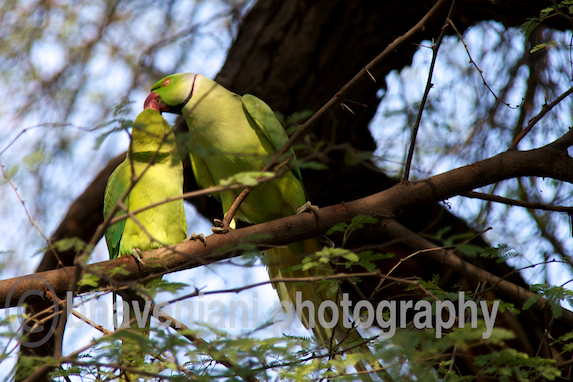Two parrots kiss each other as they sit on a branch