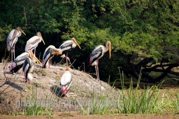 Group of painted storks on an island in Bharatpur park