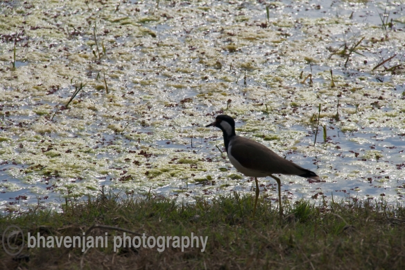 A bird sits on the ground along the wetlands of Bharatpur bird sanctuary
