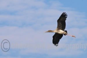 A young painted stork attempts to fly