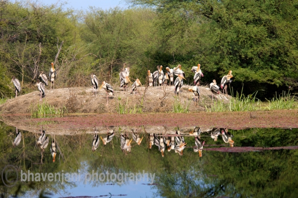 Flocks of Painted storks occupy an island in the wetlands