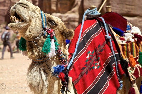Camels are a common site in Jordanian deserts including Petra