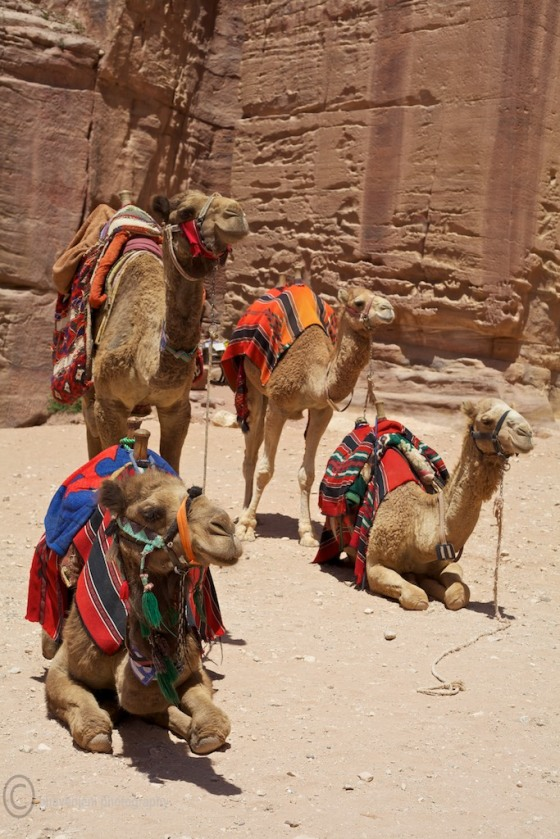 Camels take rest as they wait for visitors at Petra